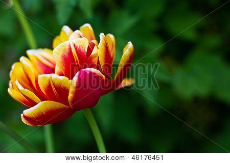 Red-yellow Flower Tulip