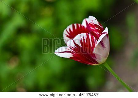 Red-white  Flower Tulip.