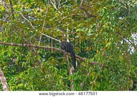 Saki mono en un árbol de la selva