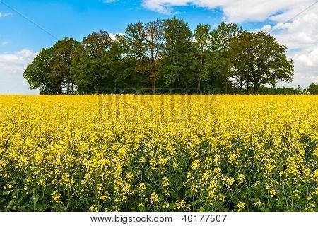 Field Rape Landscape Spring Summer