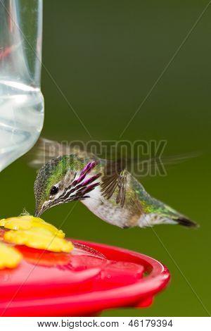 Humming Bird alimentar