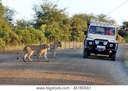 Leones cruzando una carretera