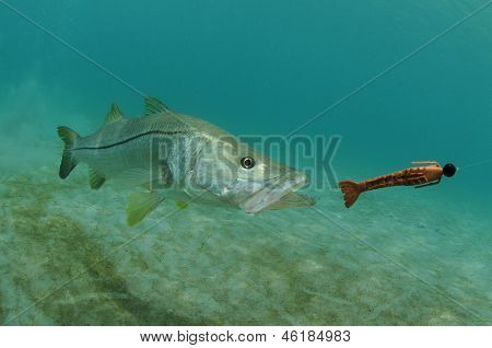 Snook Fish Chasing Lure In Ocean