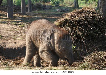 Baby Elephant nepal