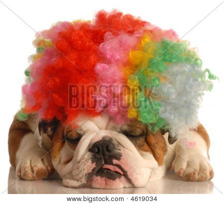 Bulldog With Clown Wig