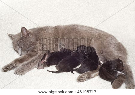 Cat breastfeeds kittens