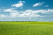 foto of corn stalk  - summer landscape - JPG