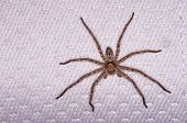 pic of huntsman spider  - Huntsman spider on the bed in the house - JPG
