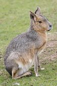 picture of wallaby  - A Lone Wallaby Found At local Zoo - JPG