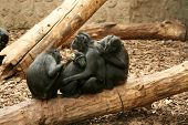 foto of promiscuous  - The Celebes Crested Macaque  - JPG