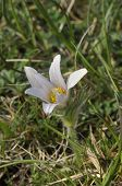 stock photo of rare flowers  - Pasque Flower - Pulsatillla vulgaris