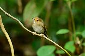 Rufous-browed Flycatcher(ficedula Solitaris)
