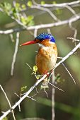 image of malachite  - Malachite Kingfisher at Lake Panic in the Kruger National Park - JPG