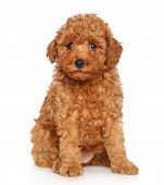 stock photo of fluffy puppy  - Toy poodle puppy - JPG
