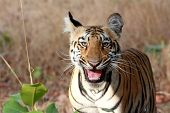 foto of tiger cub  - Laughing Tiger Cub - JPG