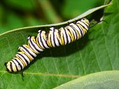 stock photo of green caterpillar  - Monarch Butterfly Caterpillar feeds on milkweed in Illinois - JPG