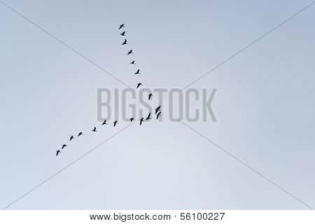 Wild geese flying in the sky in winter