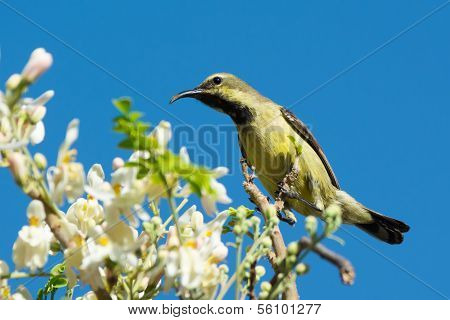 Female Beautiful Sunbird With Moringa Blossoms