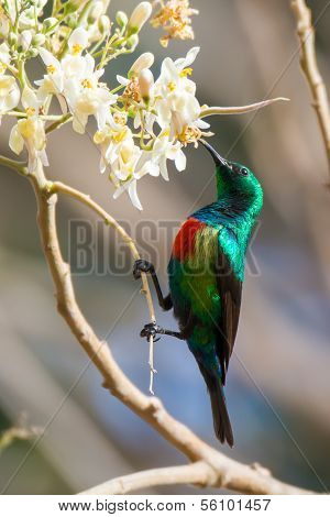 Male Beautiful Sunbird With Moringa Blossoms