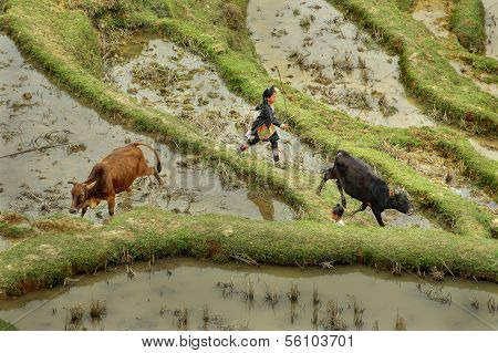 Asian Girl 10 Years Old, Herding Cows In Mountains China.