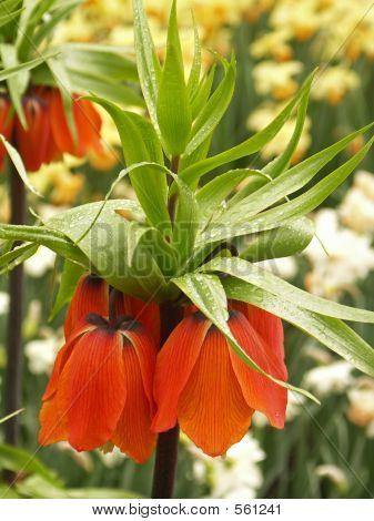 Hen Flower