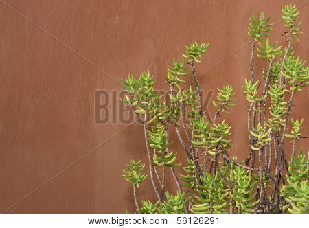 Sedum Reflexum Against Terracotta Color Wall