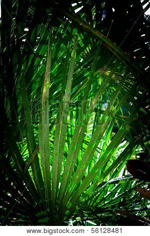 Fan Palm Chamaerops Humilis Background