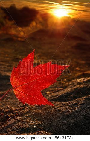 Sunray Red Maple Leaf
