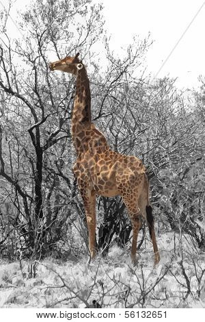 Partial Black And White Vector Of Giraffe Eating Leaves