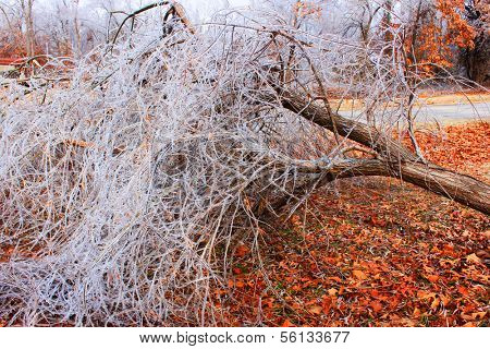 A fallen tree after an ice storm