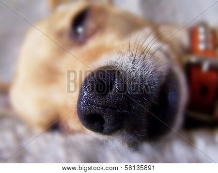 a close up of a chihuahua's face