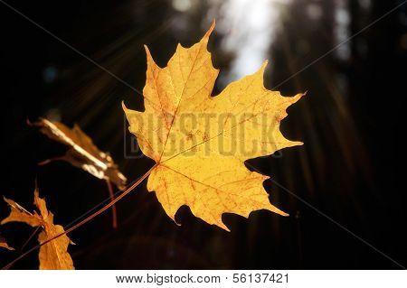 Sunray Yellow Maple Leaf
