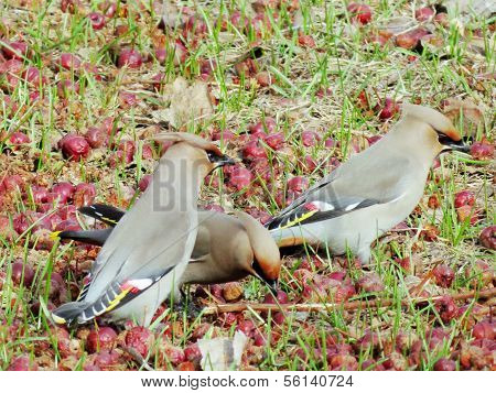 Waxwings on feeding