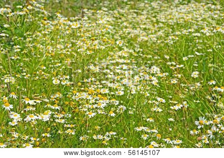 Matricaria Chamomilla Flowers On Meadow