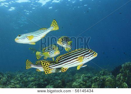 Oriental Sweetlips fish underwater on coral reef