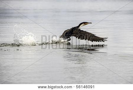 Shag/cormorant