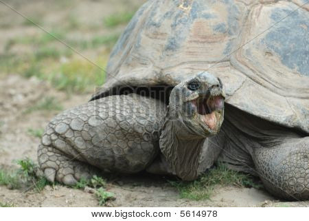 Angry Tortoise