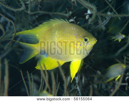 Golden Damselfish