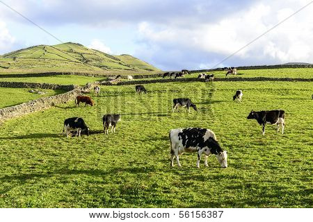 Cows At Pasture, Flores Island, Azores Archipelago (portugal)