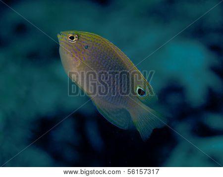 Speckled Damselfish