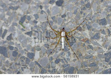 white lynx spider