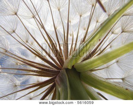 Bottom Side of a Dandelion
