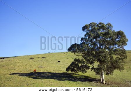 Hillside With Gum Tree And Cows