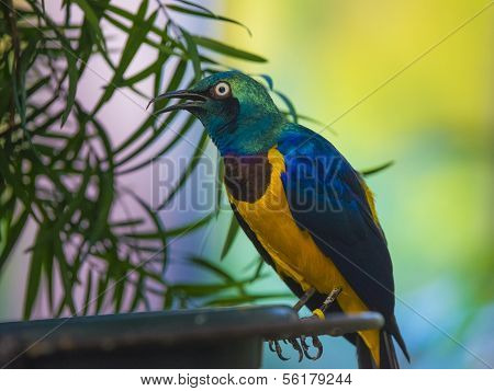 Golden-breasted Starling Lamprotornis Regius, Also Known As Royal Starling