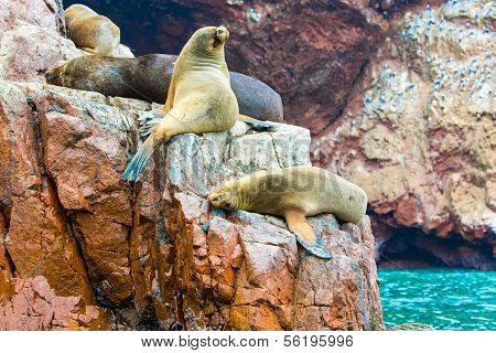 South American Sea Lions Relaxing On Rocks Of Ballestas Islands In Paracas National Park,peru. Flora