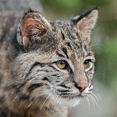 stock photo of bobcat  - Bobcat (Lynx rufus) Looks Right Closeup - captive animal ** Note: Slight blurriness, best at smaller sizes - JPG
