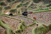 Children Of Chinese Farmers Graze Cattle In The Rice Fields.