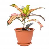 stock photo of croton  - Croton in pot isolated on white background - JPG