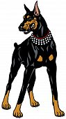 stock photo of doberman pinscher  - dog doberman pinscher breed - JPG