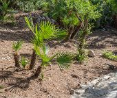 foto of humiliation  - The endemic fan palm Chamaerops humilis - JPG